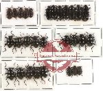 Scientific lot no. 104 Tenebrionidae (29 pcs)