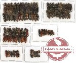 Scientific lot no. 39 Elateridae (94 pcs)