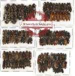 Scientific lot no. 42 Elateridae (125 pcs)
