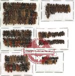 Scientific lot no. 44 Elateridae (172 pcs)