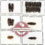 Scientific lot no. 37A Elateridae (28 pcs)