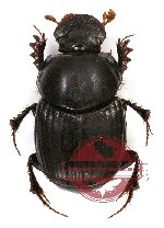Onthophagus sp. 13