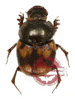 Onthophagus sp. 10A (A-)