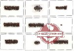 Scientific lot no. 5 Scolytidae (64 pcs)