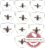 Scientific lot no. 6 Chrysididae (10 pcs - 3 pcs A2)