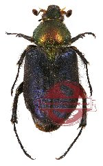 Amphicoma sp. 3